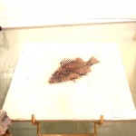 plaque fossile Priscacara
